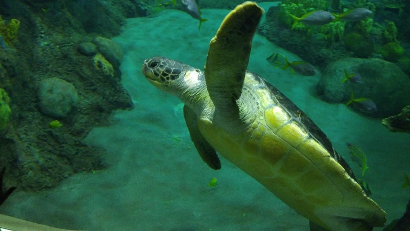 This guy was a real jerk... he swam up behind another turtle and bit his tail!