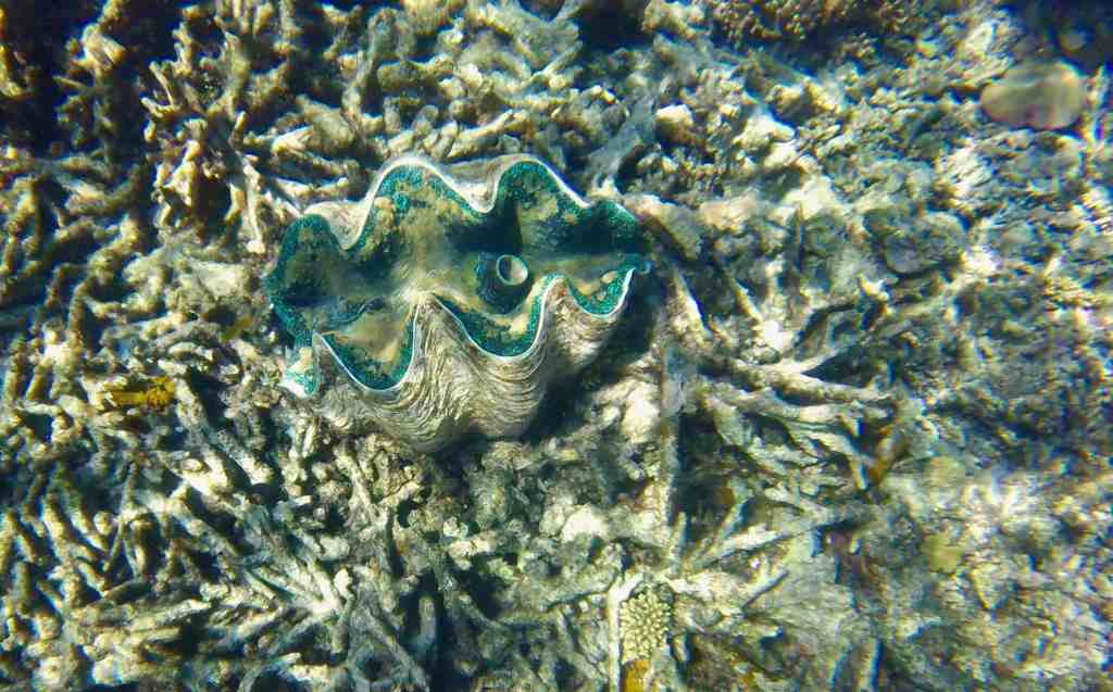Giant clam at Great Barrier Reef