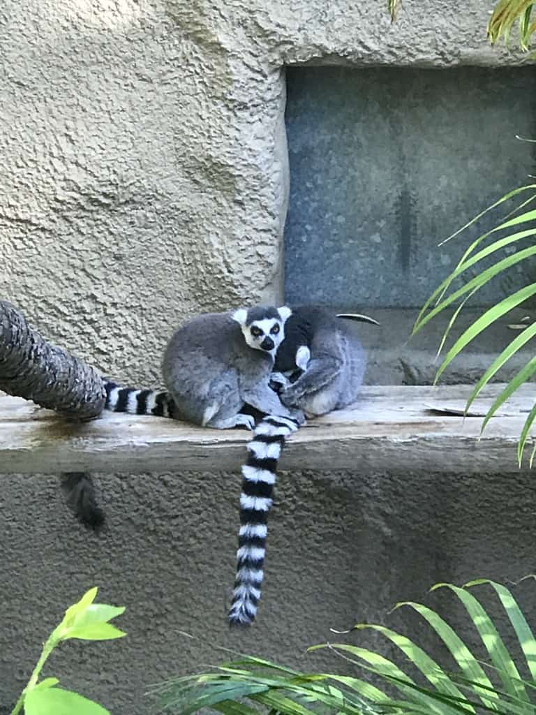 Lemurs at the San Diego Zoo