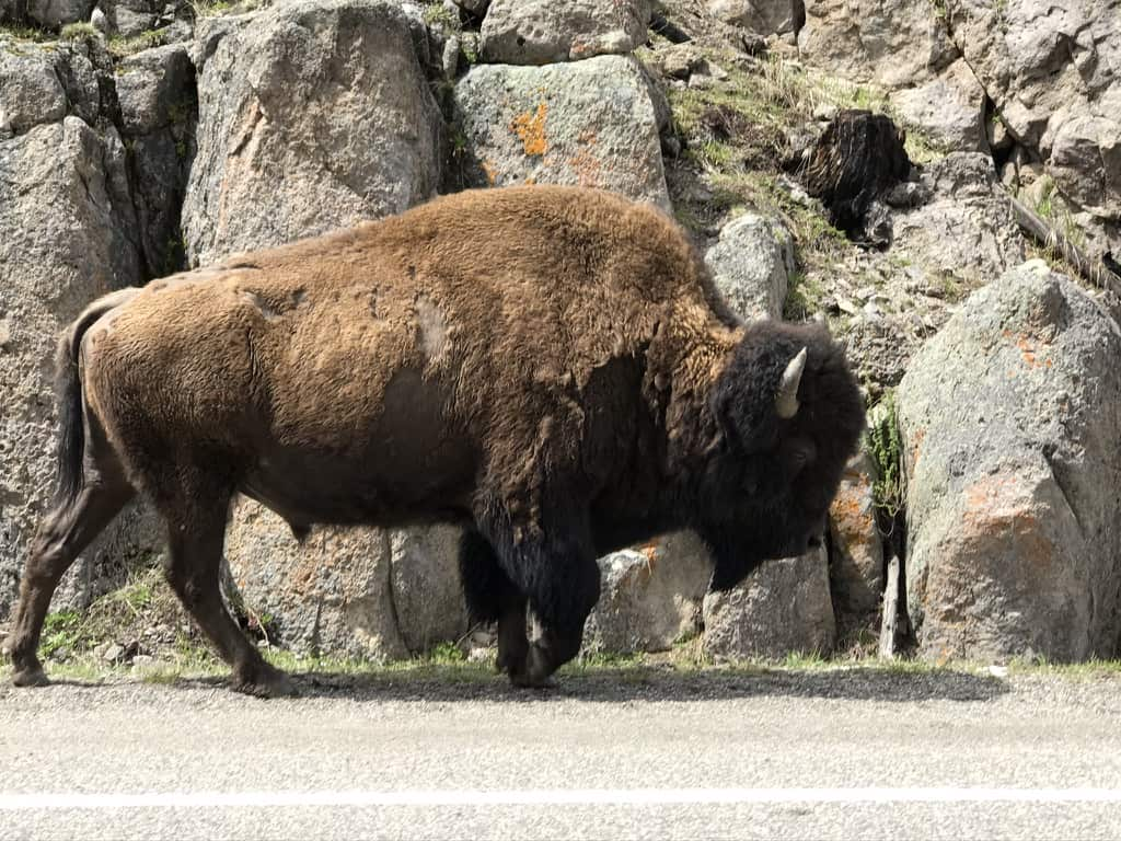 Bison walking on the side of the road, Yellowstone National Park
