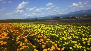 秋のファーム富田お花畑