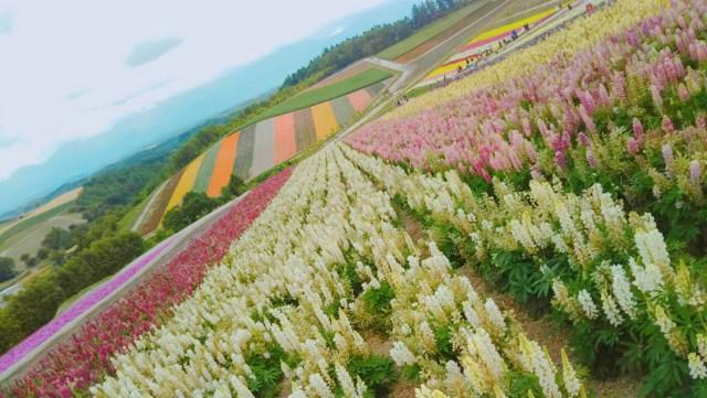 美瑛「色彩の丘」7月のお花畑