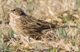 Pandera ground bird1