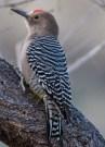 woodpecker panderaA