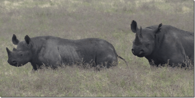 rhinos in grass