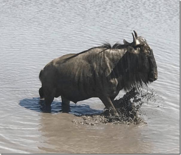 Wildebeest in water