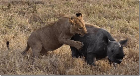 Lion attacking baby rhino