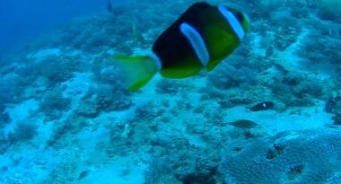 anemonefish2