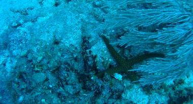 reef-starfish