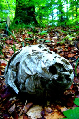 Forest insects: Wasps' nest