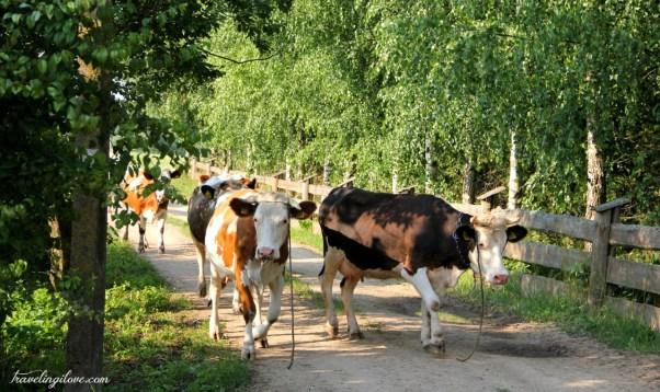 Suwalskie krowy (2)