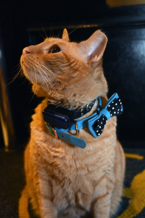 The Algonquin Cat Fashion Show 2019, with host Hamlet, The Algonquin Cat