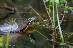 Sun turtle hangin in the sun
