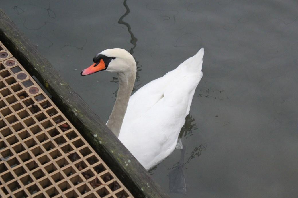 Swan; Zurich, Switzerland; 2011