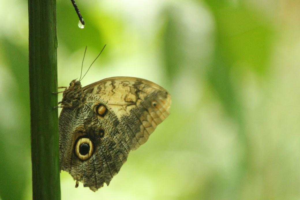 Butterfly with Rain Drop; Roatan, Honduras; 2013