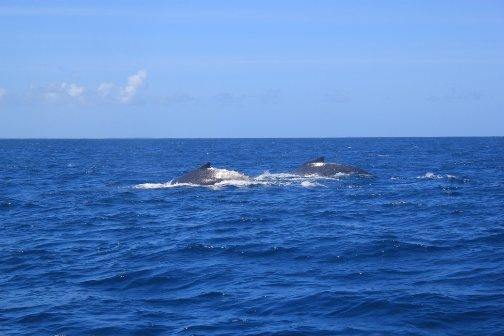 Humpback Whale Pair; Kizimaki Dibani, Zanzibar, Tanzania; 2012