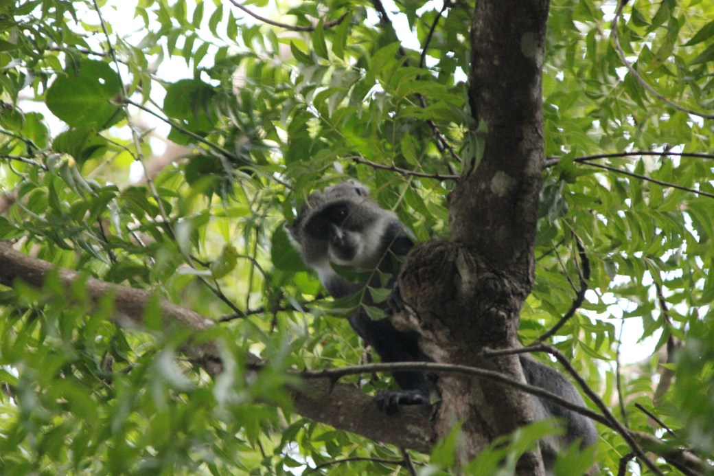 White Colobus Monkey; Diani Beach, Kenya; 2011