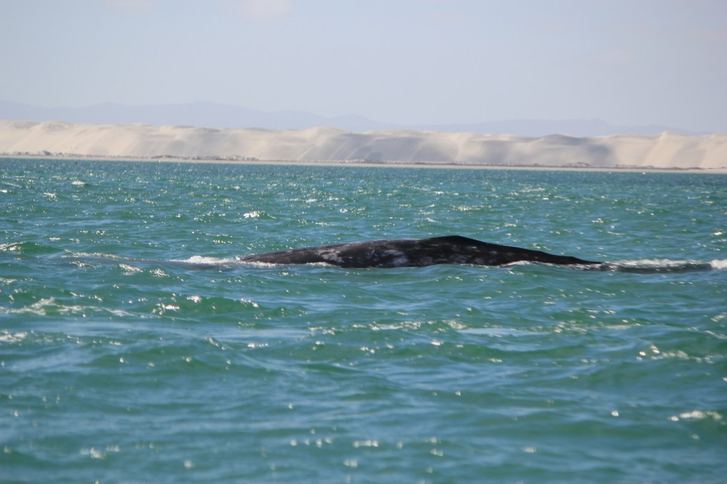 JRB @ Guerrero Negro, Mexico; Grey Whales; 2012 (249)