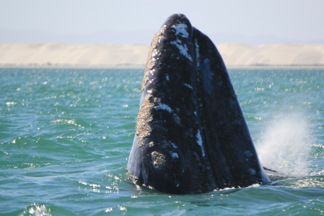 JRB @ Guerrero Negro, Mexico; Grey Whales; 2012 (377)