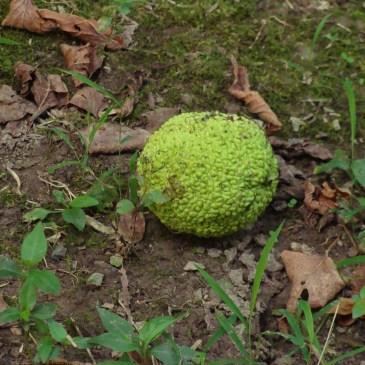 osage orange hedge apple monkey ball woolly mammoth scat