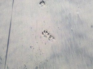 Sharpei footprints