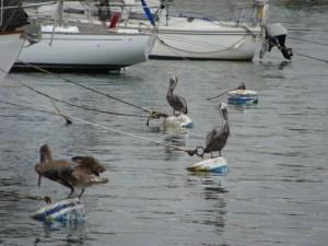 pelicans Newport Bay