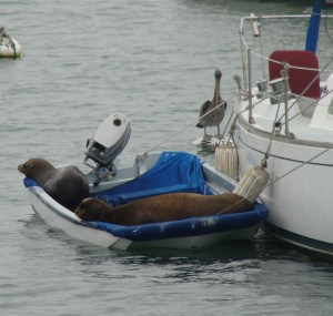 Sea lions in dinghy