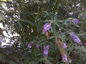 monarch butterfly bush Chautauqua