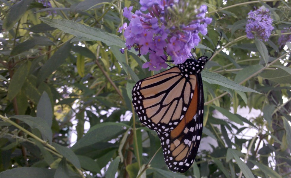 Monarch butterfly bush Madison Indiana