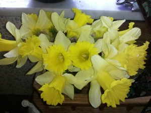 narcissus daffodil Pennsylvania flowers spring yellow white
