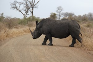 expat life Pretoria where to see the big five Africa travel best rhino conservation organizations