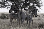 quagga zebra family losing stripes