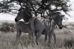 quagga zebra family losing stripes
