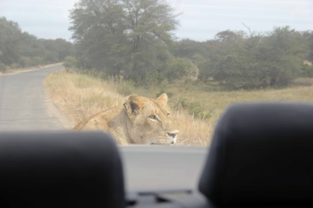 lioness Africa travel