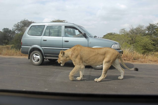 travel lions Africa