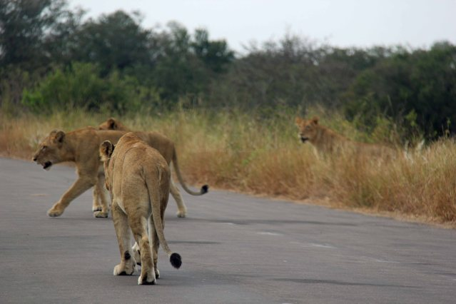 Africa travel lions
