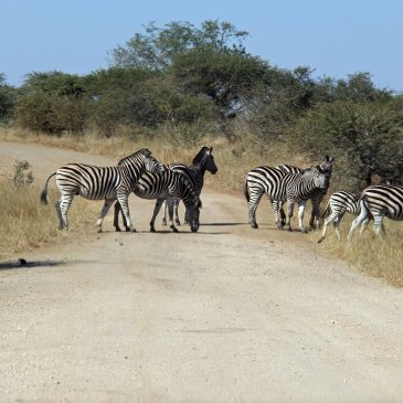travel Africa zebra