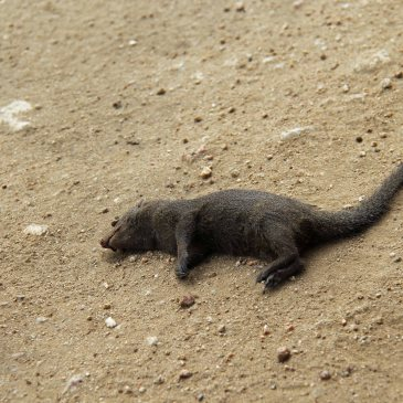 dead mongoose travel Africa