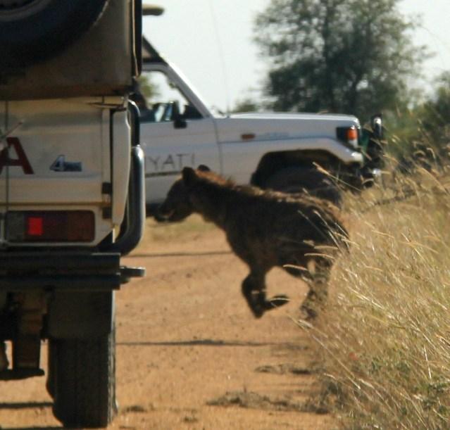 Kruger travel Africa hyena