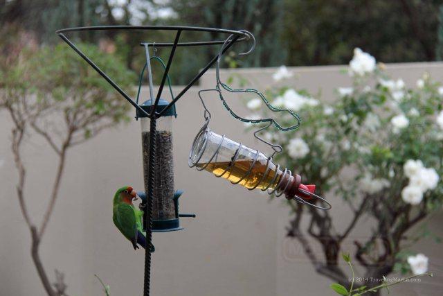 travel Africa lovebirds