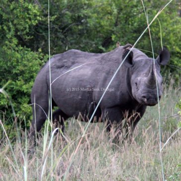Africa travel tracking black rhino