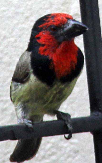 Africa bird calls
