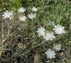 Queen Anne's Lace white flower