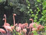 Amazon river ride 9 Flamingoes