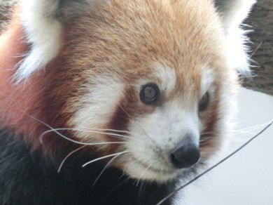 Red Panda40