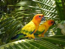 Parakeets13