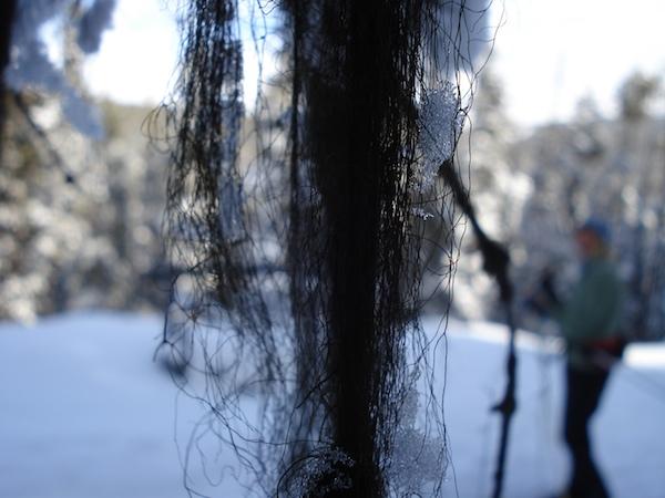 Lichen hanging off a branch.