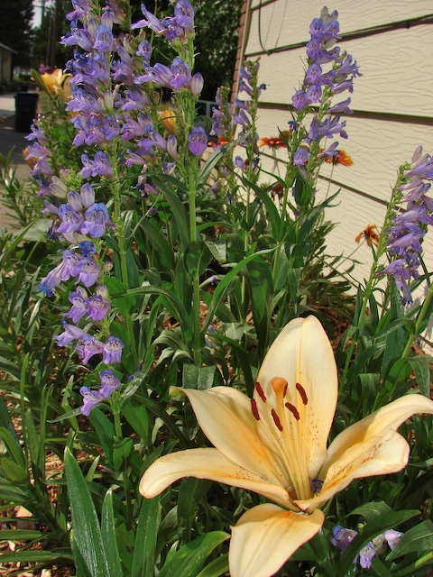 Lilies and penstemon