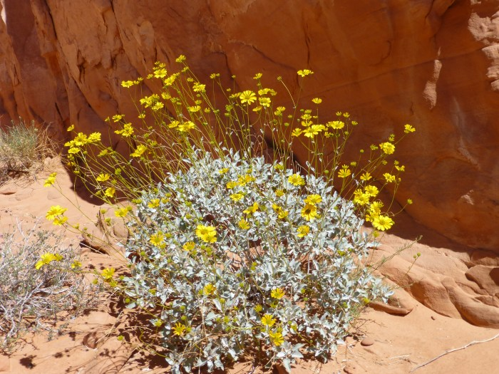 Brittlebrush in Valley of Fire State Park