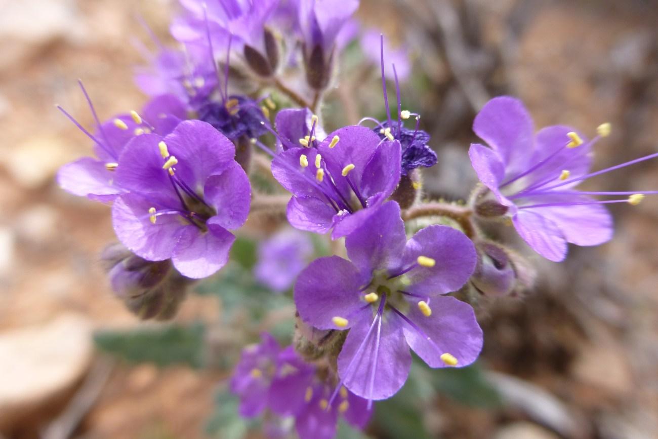 Gilia purple flower in the Nevada desert